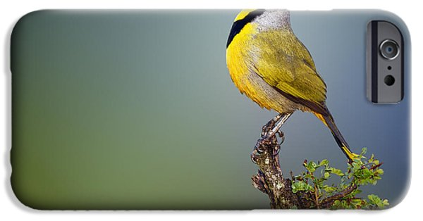 Province iPhone Cases - Bokmakierie bird - Telophorus zeylonus iPhone Case by Johan Swanepoel