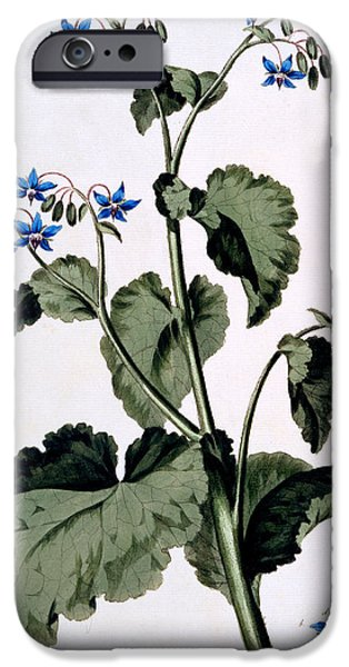 Still Life iPhone Cases - Borage with Blue Flowers iPhone Case by John Edwards