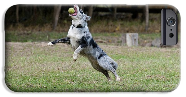 Dog With Tennis Ball iPhone Cases - Border Collie Catching A Ball iPhone Case by William H. Mullins