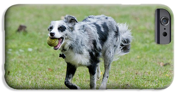 Dog With Tennis Ball iPhone Cases - Border Collie Retrieving A Ball iPhone Case by William H. Mullins