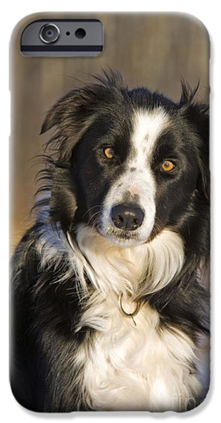 Dog Close-up iPhone Cases - Border Collie iPhone Case by Rolf Kopfle