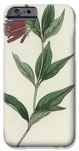 Botanical Drawings iPhone Cases - Botanical Engraving iPhone Case by English School