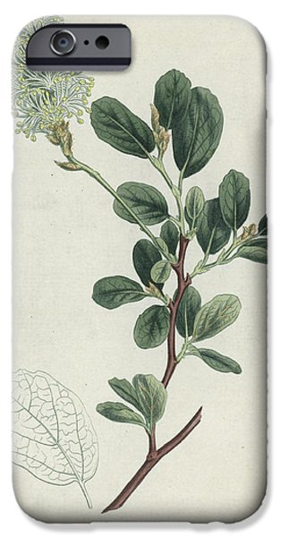 Horticultural Drawings iPhone Cases - Botanical Engraving iPhone Case by Sydenham Teast Edwards