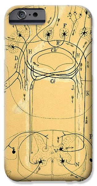 Neurons iPhone Cases - Brain Vestibular Sensor Connections by Cajal 1899 iPhone Case by Science Source