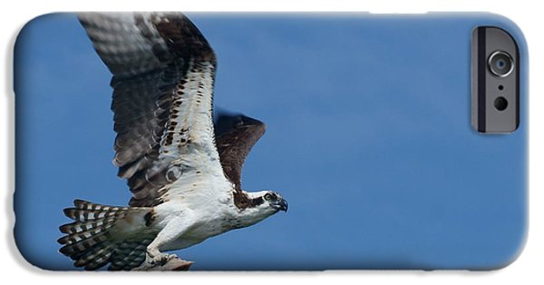 St. Johns River iPhone Cases - Bringing Home the Bacon - Osprey in Flight iPhone Case by Nikolyn McDonald