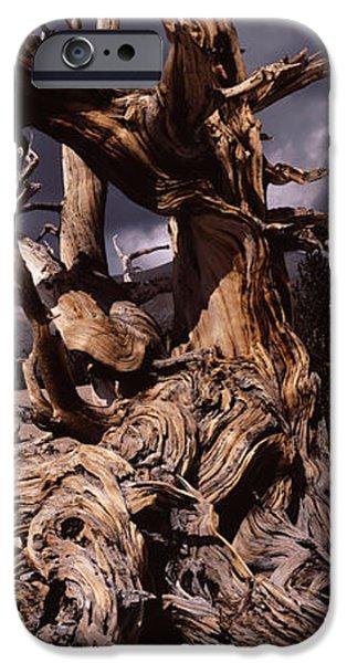 Tree Roots Photographs iPhone Cases - Bristlecone Pine Tree Pinus Longaeva iPhone Case by Panoramic Images