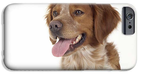 Dog Close-up iPhone Cases - Brittany Dog, Close-up Of Head iPhone Case by John Daniels