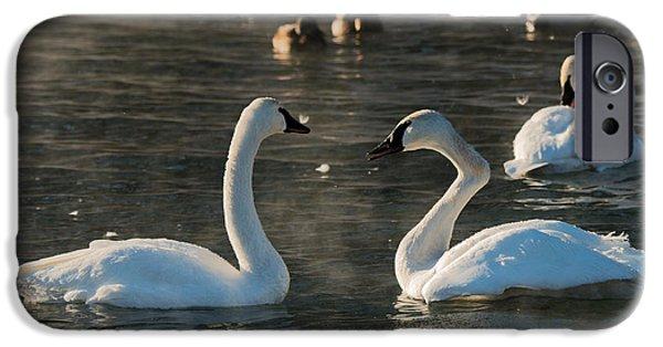 Swans... iPhone Cases - Broke Neck Swan iPhone Case by Paul Freidlund