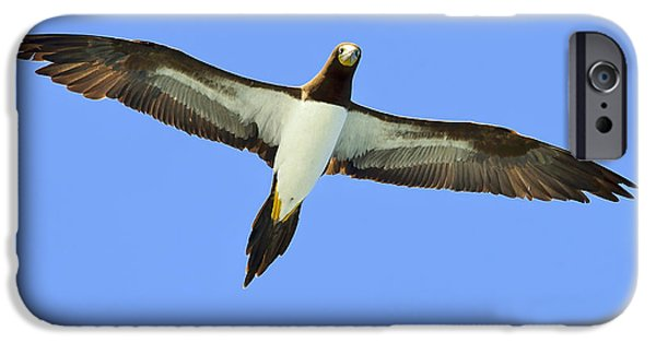 Boobies iPhone Cases - Brown Booby iPhone Case by Tony Beck