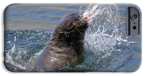 Playing Photographs iPhone Cases - Brown Fur Seal throwing a fish head iPhone Case by Johan Swanepoel