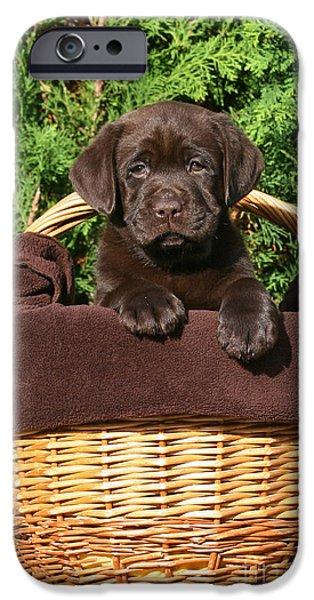 Dog Photos iPhone Cases - Brown Labrador Retriever puppy in a basket iPhone Case by Dog Photos