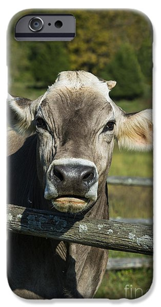 Brown Swiss iPhone Cases - Brown Swiss Cow iPhone Case by John Greim