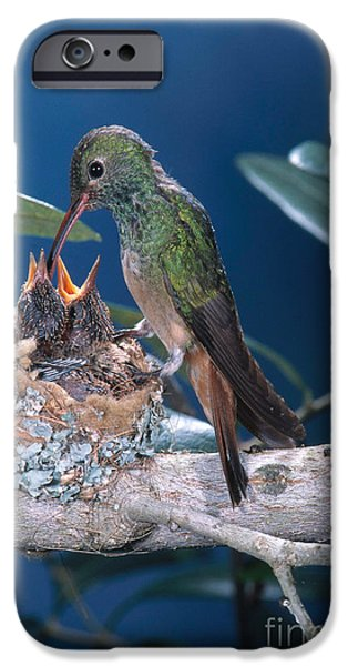 Feeds Chicks iPhone Cases - Buff-bellied Hummingbird At Nest iPhone Case by Anthony Mercieca