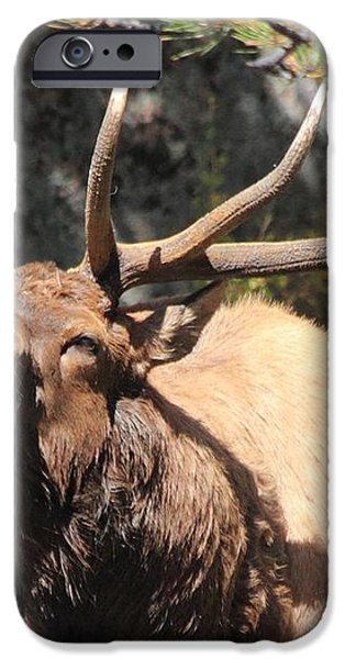 Bugling Bull iPhone Case by Shane Bechler