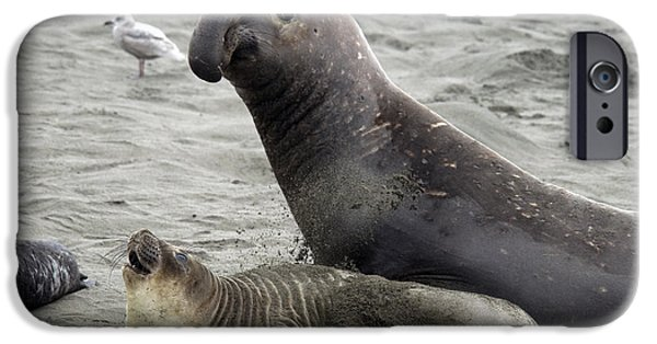 Ocean Mammals iPhone Cases - Bull Approaches Cow Seal iPhone Case by Mark Newman