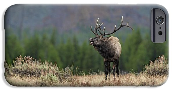 Bull Pyrography iPhone Cases - Bull Elk Calling iPhone Case by Daniel Behm