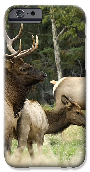 Bull Elk With His Harem iPhone Case by Bob Christopher