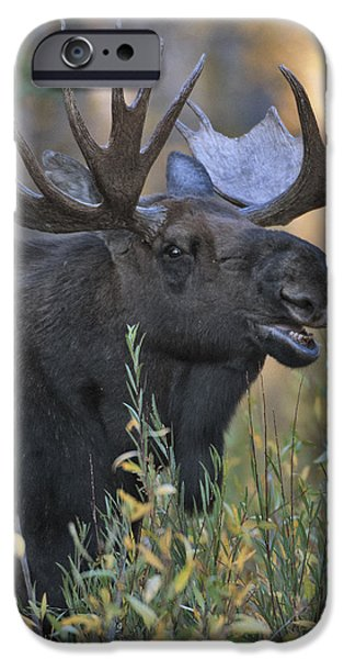Grunts iPhone Cases - Bull Moose Calling iPhone Case by Gary Langley