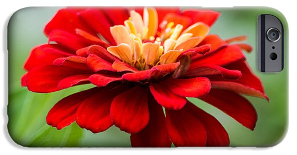 Zinnias iPhone Cases - Bursts of Color iPhone Case by Parker Cunningham