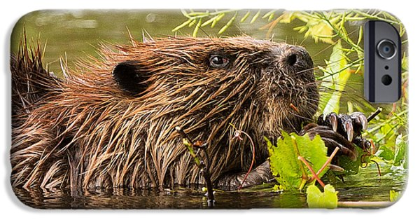 Beaver iPhone Cases - Busy as a Beaver iPhone Case by Everet Regal
