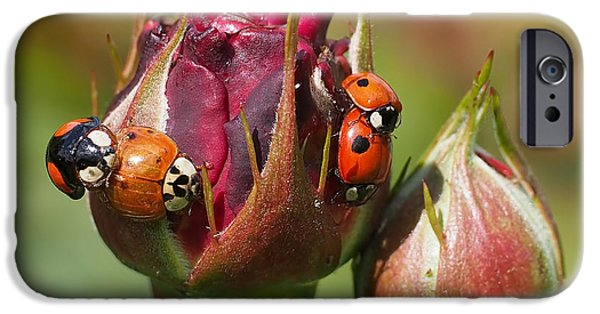 Beetle iPhone Cases - Busy Ladybugs iPhone Case by Rona Black