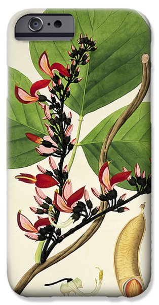19th Century Drawings iPhone Cases - Butea Superba iPhone Case by William Roxburgh