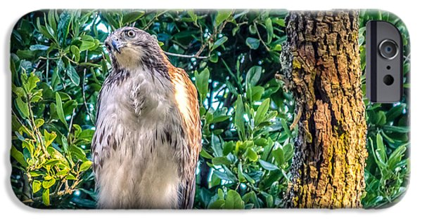 Preditor iPhone Cases - Buteo jamaicensis on Quercus virginiana iPhone Case by Rob Sellers