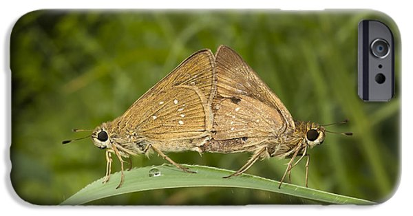 Butterfly Prey iPhone Cases - Butterfly Chestnut Bob Iambrix salsala mating iPhone Case by Rudra Narayan  Mitra