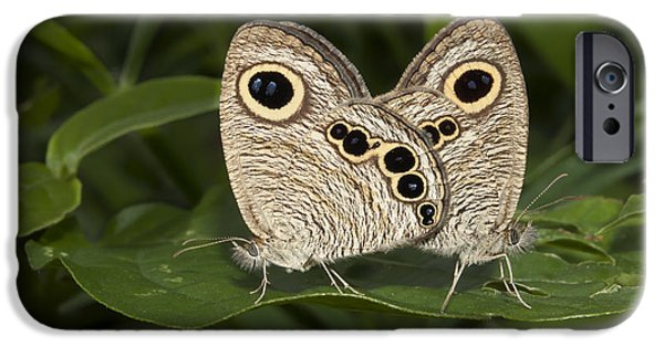 Butterfly Prey iPhone Cases - Butterfly common five ring Ypthima baldus mating iPhone Case by Rudra Narayan  Mitra