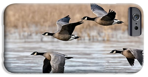 Us Wildllife iPhone Cases - Cackling Geese Flying iPhone Case by Anthony Mercieca