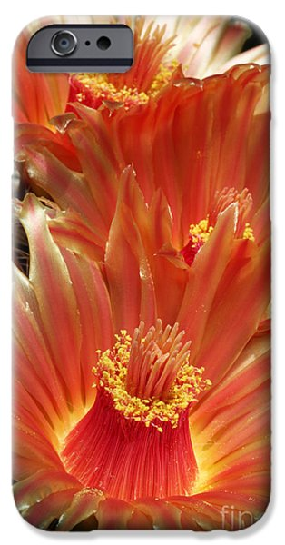 Botanical Photographs iPhone Cases - Cactus Blossoms iPhone Case by Judy Whitton