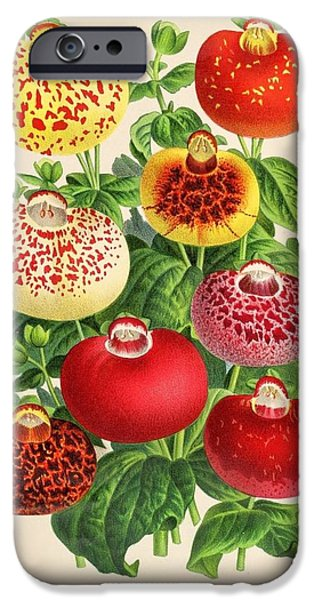Business Drawings iPhone Cases - Calceolaria from a vintage Belgian book of flora. iPhone Case by Philip Ralley