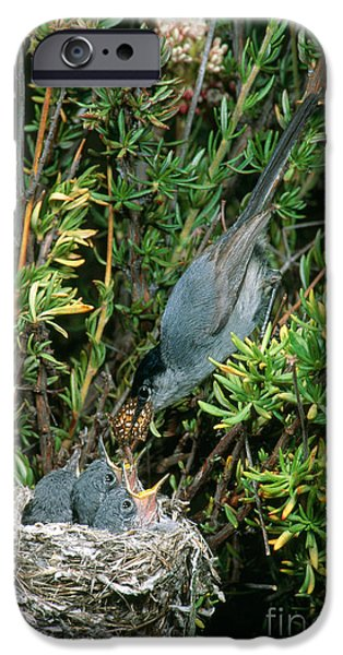 Feeding Young iPhone Cases - California Gnatcatcher Feeding Chicks iPhone Case by Anthony Mercieca