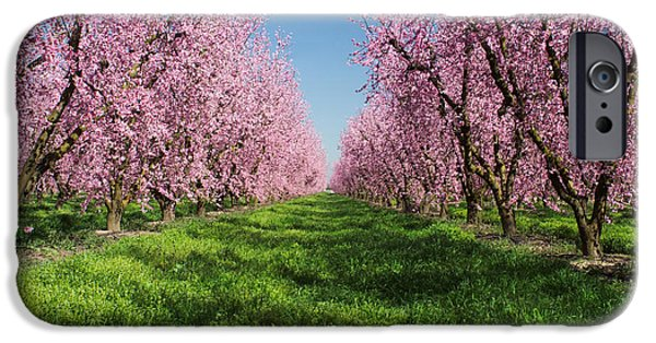Pathway iPhone Cases - California Peach Tree Orchard  iPhone Case by Anonymous