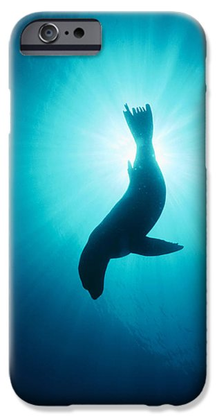 California Sea Lions iPhone Cases - California Sea Lion  Channel Islands Np iPhone Case by Flip Nicklin