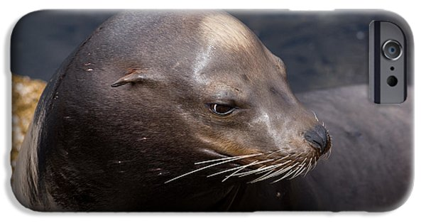 California Sea Lions iPhone Cases - California Sea Lion iPhone Case by John Daly