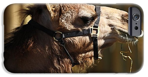 Camel Photographs iPhone Cases - Camel Eating iPhone Case by Dan Sproul