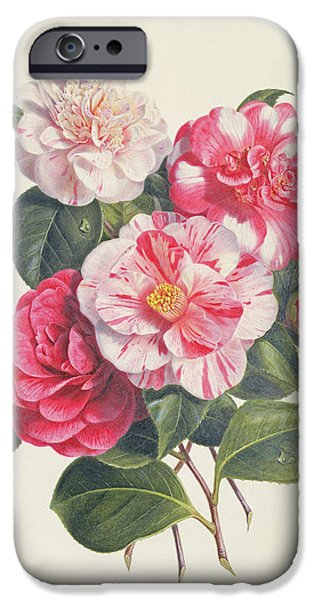 Camelias iPhone Case by Augusta Innes Withers