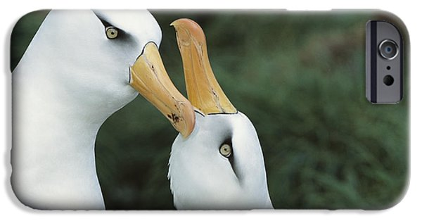 Wildlife Celebration iPhone Cases - Campbell Albatrosses Courting Campbell iPhone Case by Tui De Roy