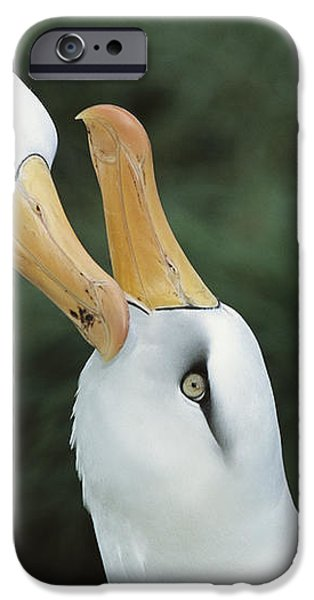 Campbell Albatrosses Courting Campbell iPhone Case by Tui De Roy