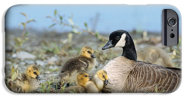 Baby Bird iPhone Cases - Canada Goose Family iPhone Case by Mark Newman