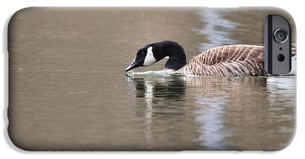 Geese iPhone Cases - Canada Goose Swimming iPhone Case by Dan Sproul