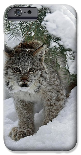 Canada Lynx Hiding in a Winter Pine Forest iPhone Case by Inspired Nature Photography By Shelley Myke