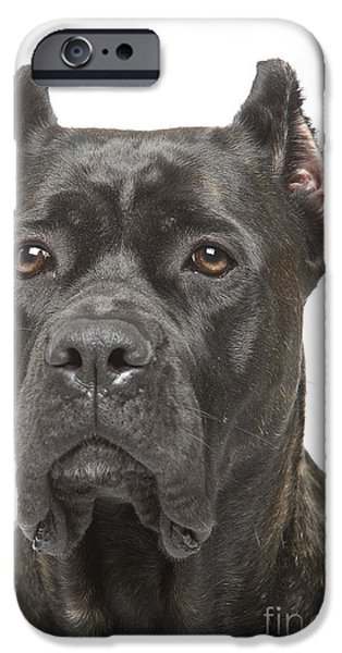 Dog Close-up iPhone Cases - Cane Corso Dog iPhone Case by Jean-Michel Labat