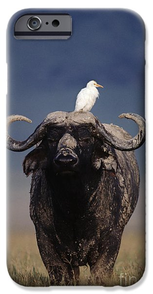 Cattle Egret iPhone Cases - Cape Buffalo With Cattle Egret in Tanzania iPhone Case by Frans Lanting MINT Images