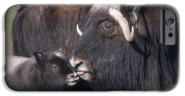 Recently Sold -  - Young iPhone Cases - Captive Adult Female Musk Ox With Calf iPhone Case by Doug Lindstrand