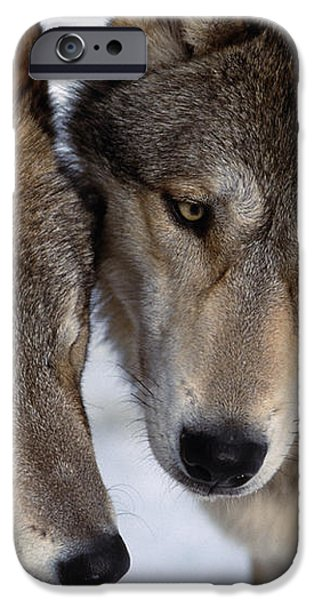 Captive Close Up Wolves Interacting iPhone Case by Steven Kazlowski