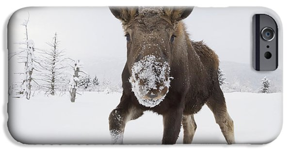 Bull Moose iPhone Cases - Captive Young Bull Moose In Deep Snow iPhone Case by Doug Lindstrand