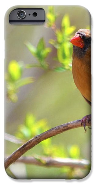 Cardinal In Spring iPhone Case by Sandi OReilly