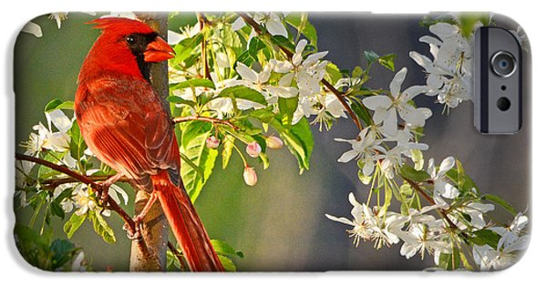 Arkansas iPhone Cases - Cardinal in the Springtime iPhone Case by Nava  Thompson